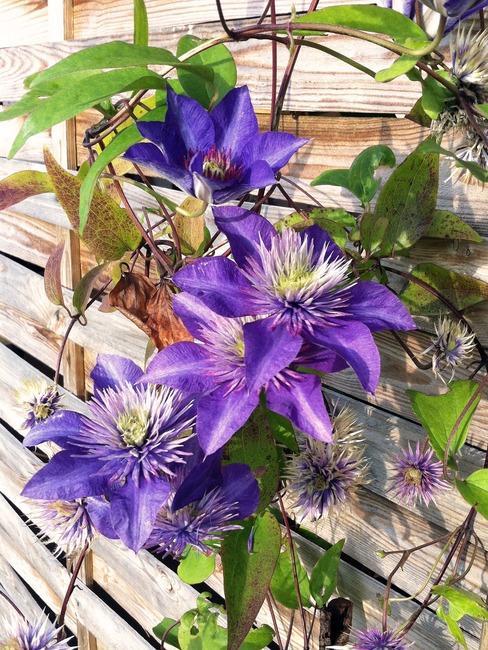 paarse clematis klimplant op schutting