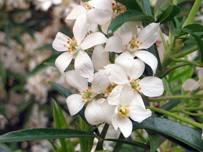 choisya: verzorging van planten in de tuin