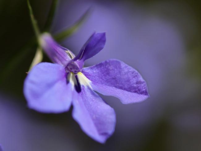 Lobelia: tuin met prachtige bloemen en bomen
