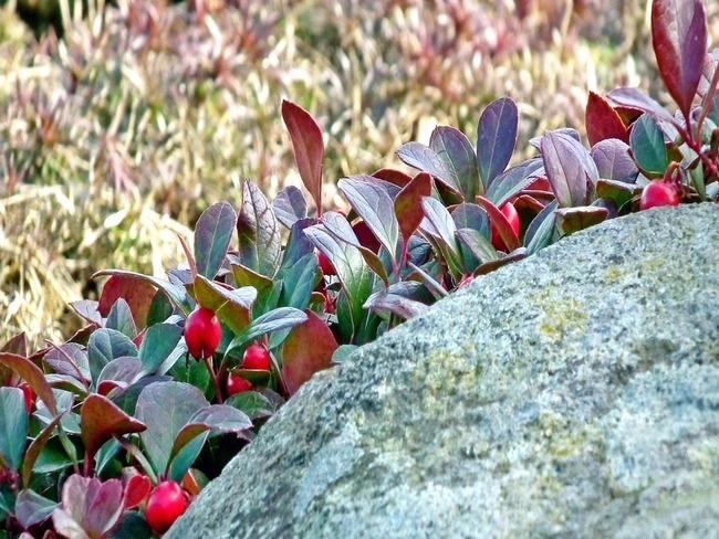 Gaultheria: tuin met prachtige bloemen en bomen