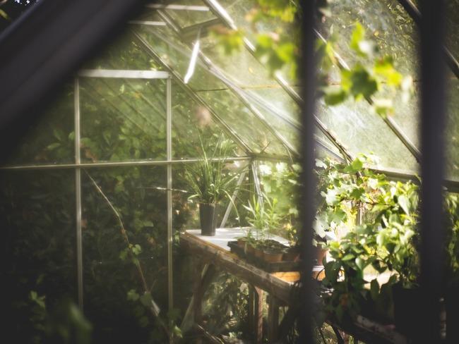tomaten kweken: bloeiende zaailingen in de grond
