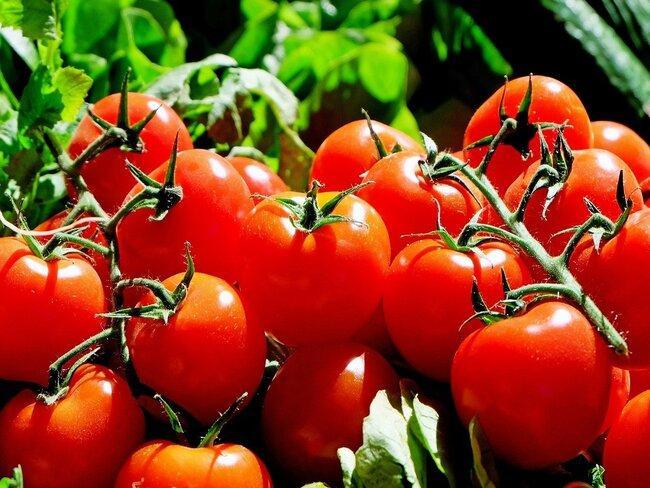 rode tomaten in de tuin