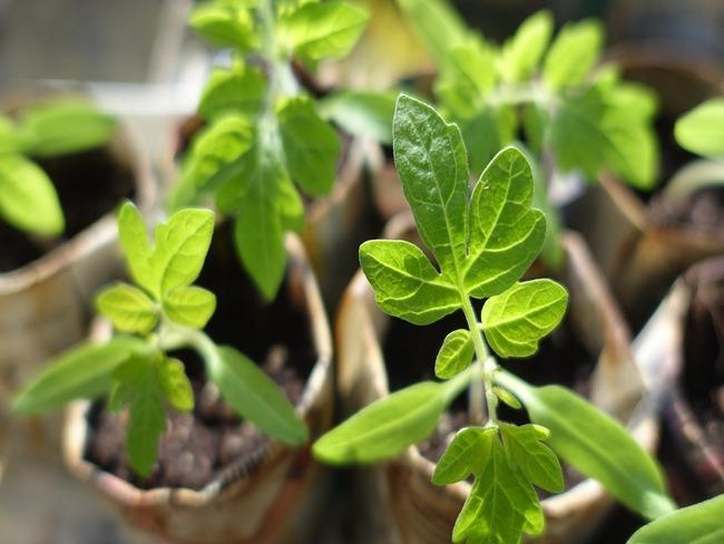 Knoflook planten: bloeiende zaailingen in de grond