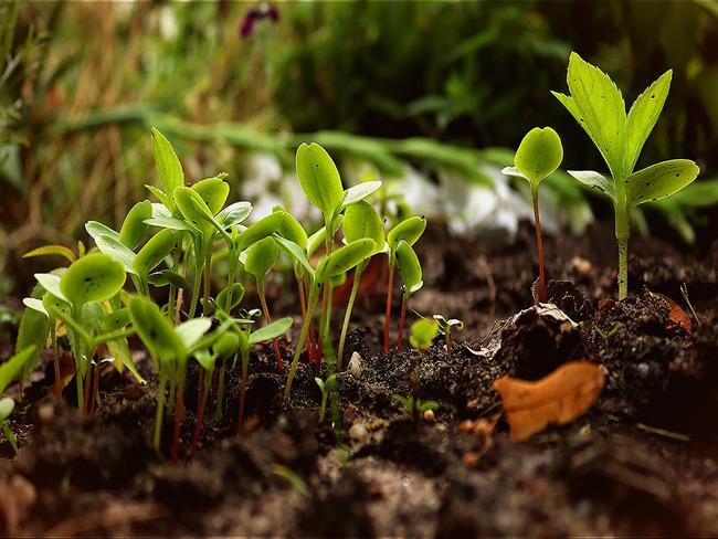 broccoli kweken: bloeiende zaailingen in de grond