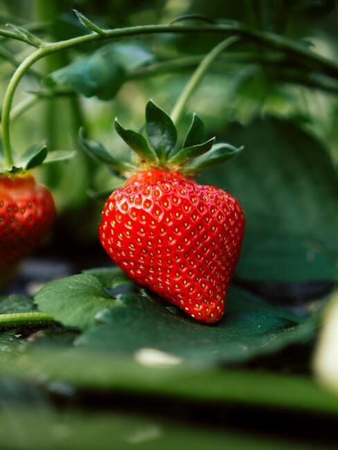 aardbeien aan struik