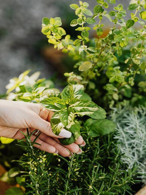 hand met kruidenplanten