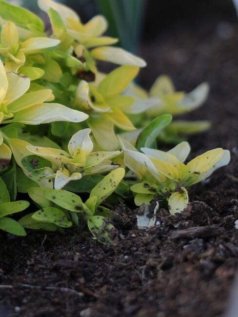 moestuin grond met groene gewassen