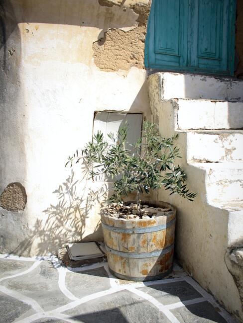bomen voor in de tuin: olijfboom in houten bak
