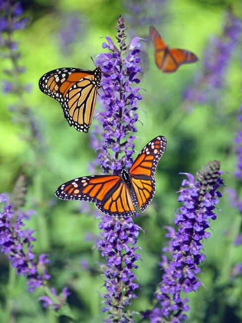 paarse vlinderstruik met vlinders