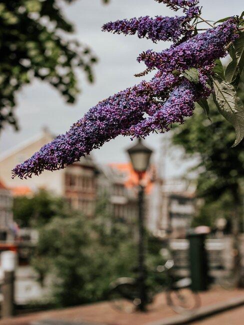 vlinderstruik in een straat met lantaarn