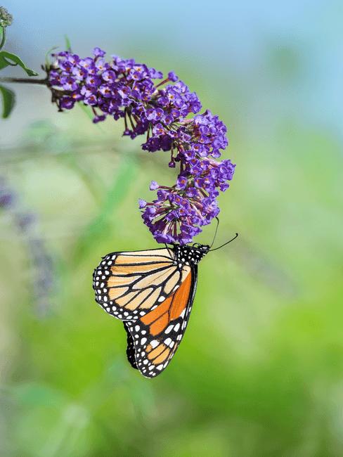 paarse vlinderstruik met vlinder