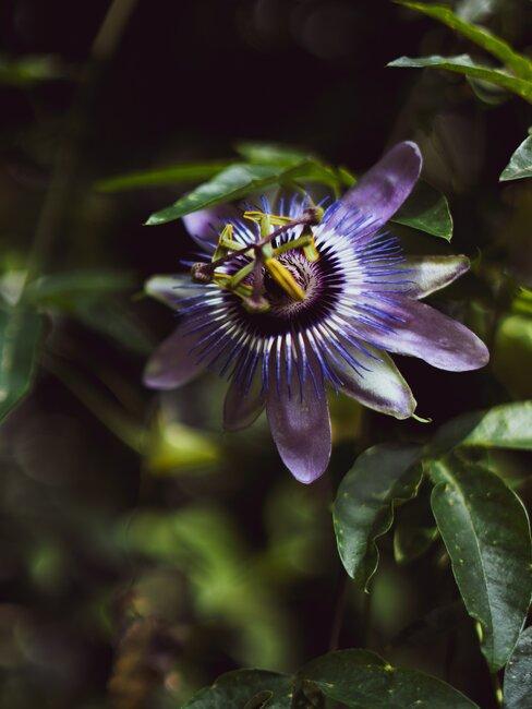 paarse passiebloem