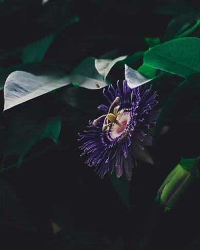 donker paarse passiebloem