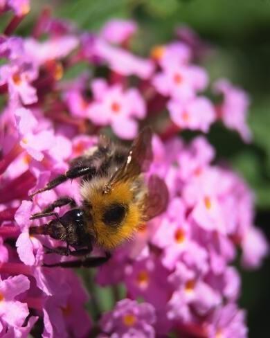 roze vlinderstruik met bij