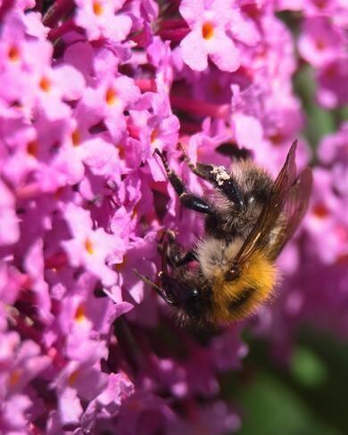 bij in roze vlinderstruik