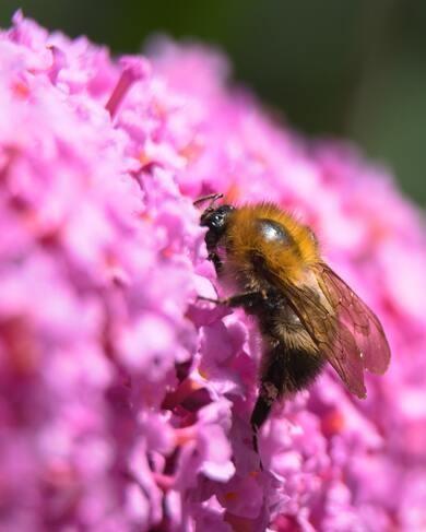 hommel in roze vlinderstruik