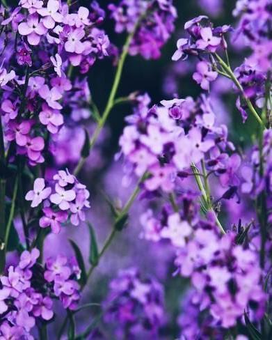 paarse verbena plant