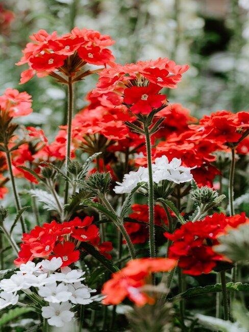 rode en witte verbena plant