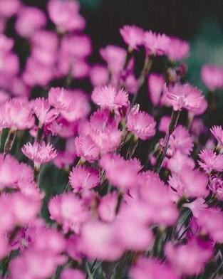 close up roze verbena bloemen