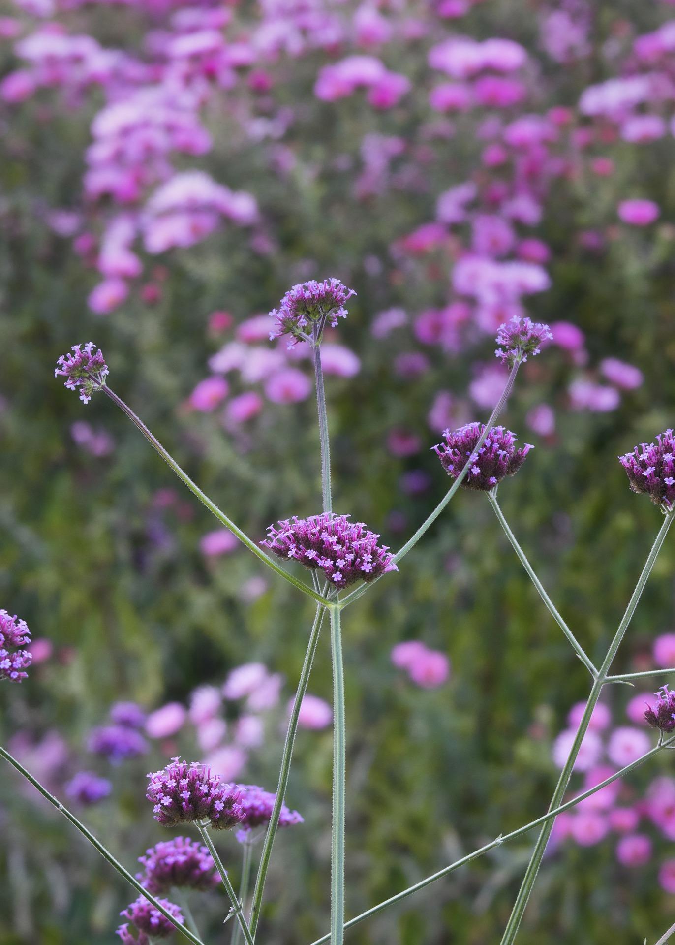 verbena bloem