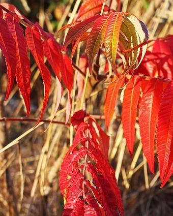Rode bladeren fluweelboom