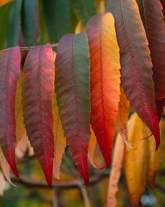 Bladeren van een fluweelboom