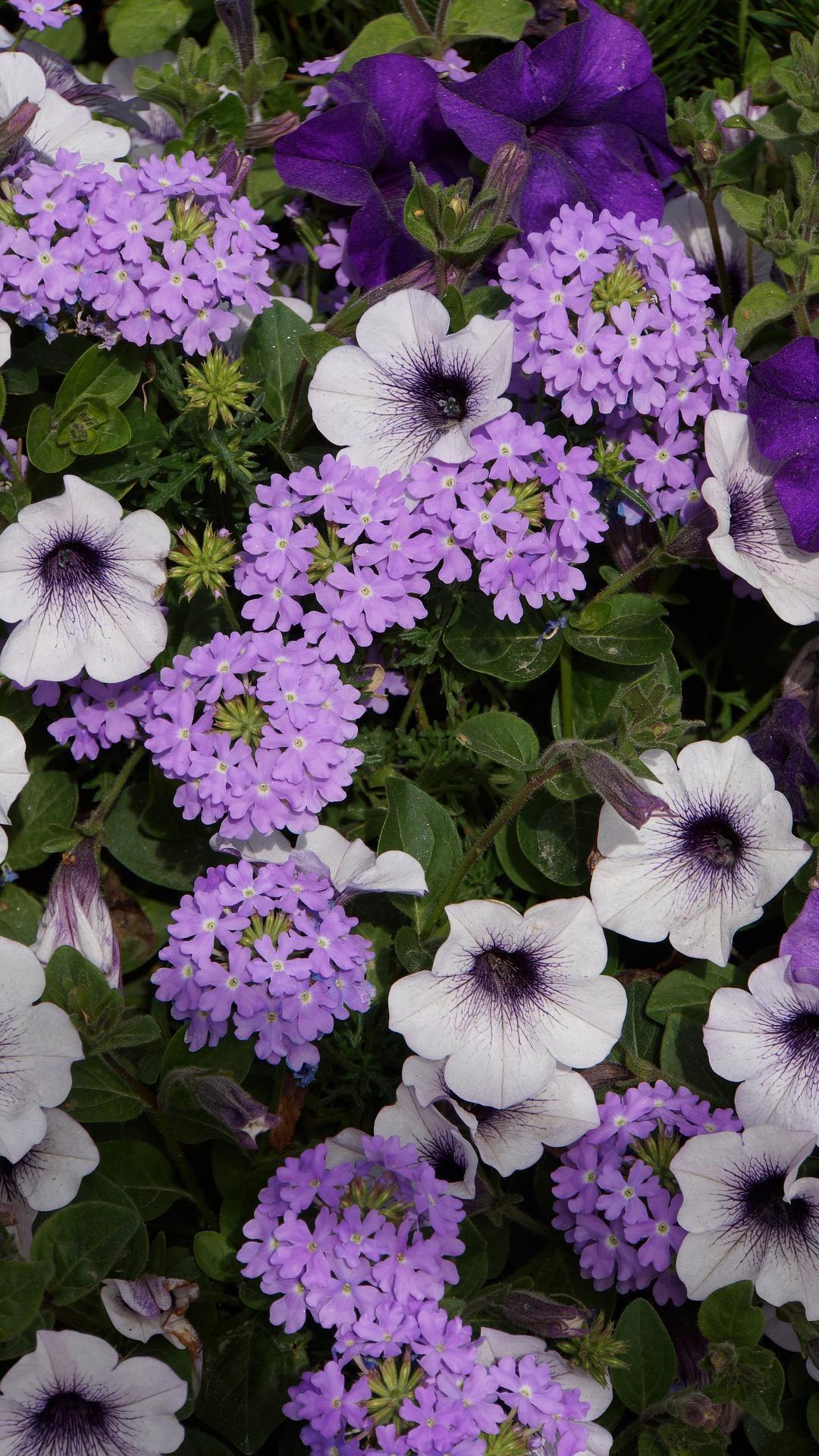 verbena met andere bloemen