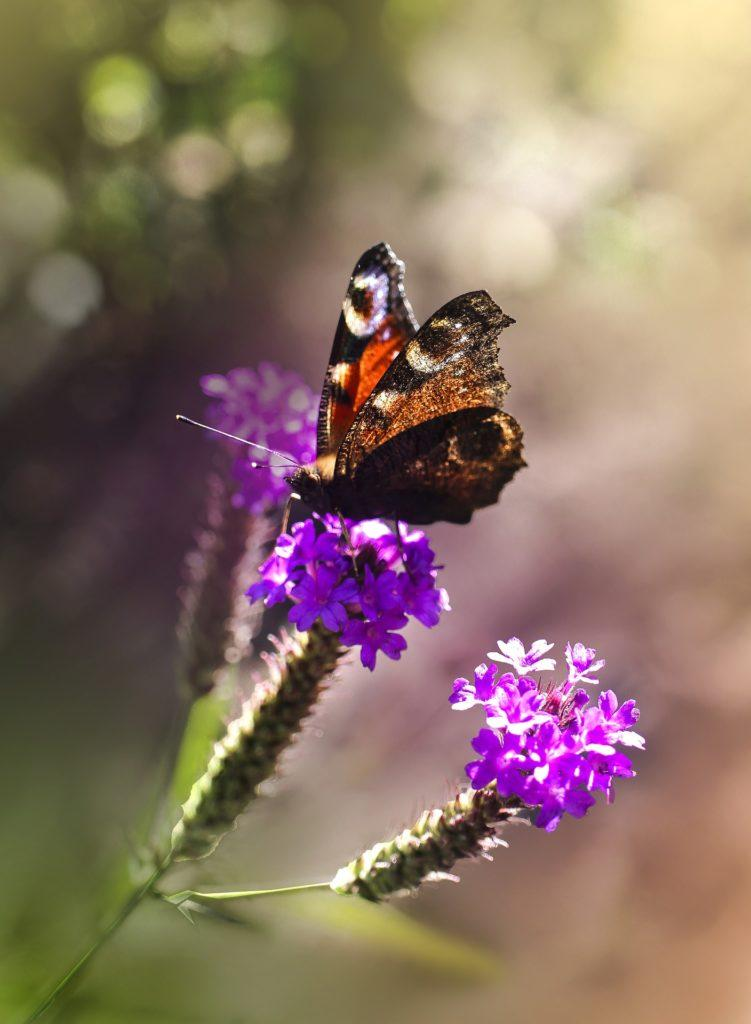 verbena hastata met vlinder