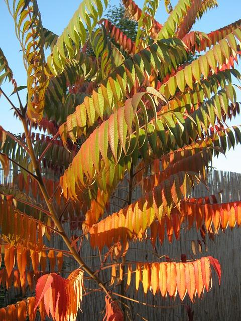 Grote fluweelboom met groen rode bladeren