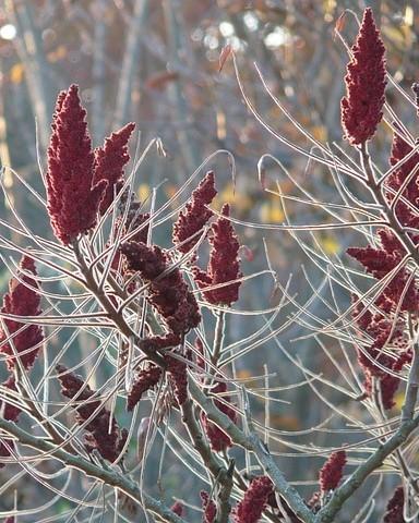 Fluweelboom met rode bloemen en vruchten