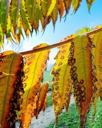 Lange bladeren van de fluweelboom