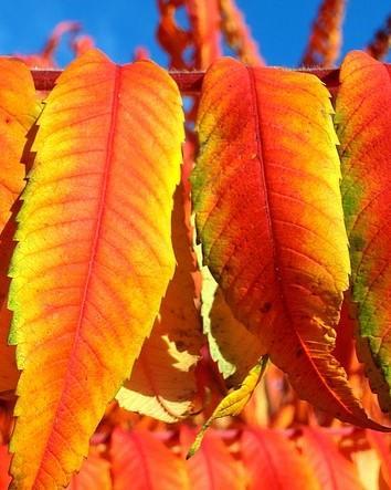 Rood gele lange bladeren van de fluweelboom
