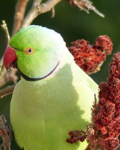 Papagaai in een fluweelboom