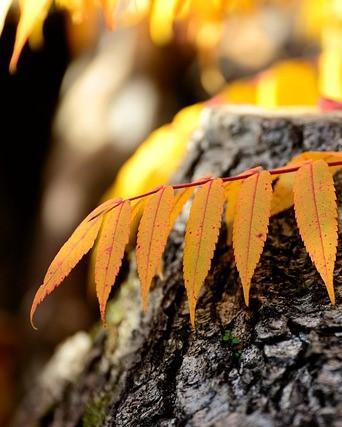 Gele bladeren van fluweelboom op steen
