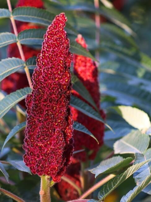Rode bloem van fluweelboom