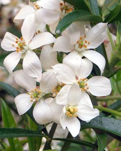 Witte bloemen van de mexicaanse oranjebloesem: choisya