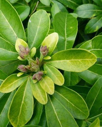 Bladeren van de Mexicaanse oranjebloesem: Choisya