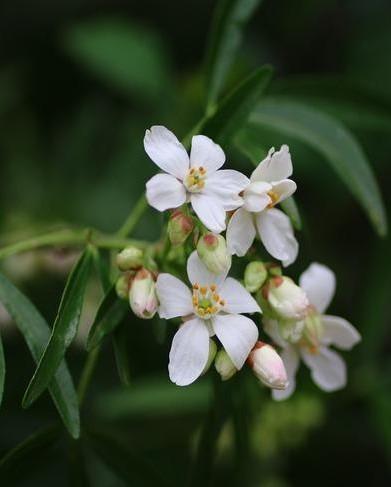 De witte bloemen van de Mexicaanse oranjebloesem: choisya