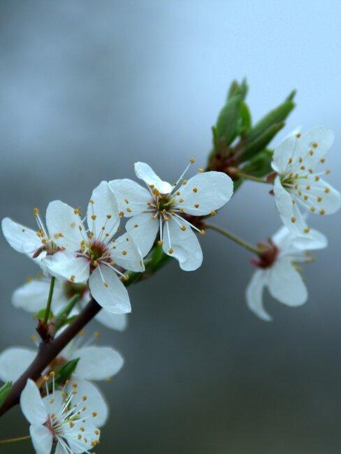 Witte bloemen van de Choisya