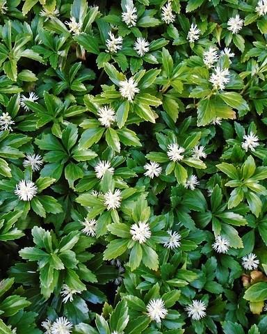 schaduwplanten: hosta