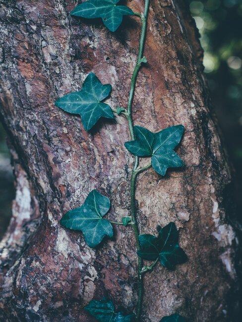 wilde wingerd klimt tegen boom