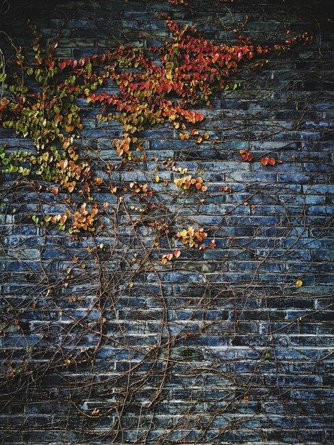 wilde wingerd met rode bladeren tegen muur