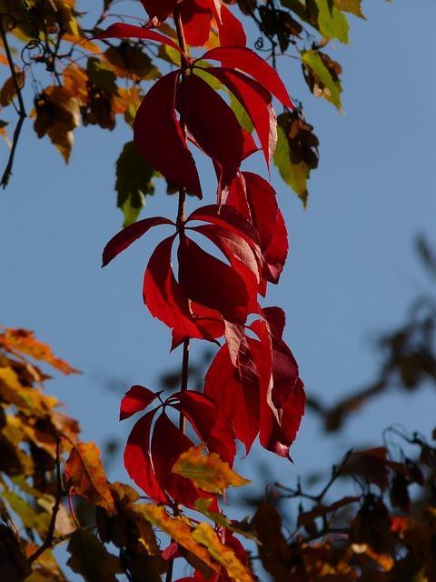 wilde wingerd in herfstkleuren in de open lucht
