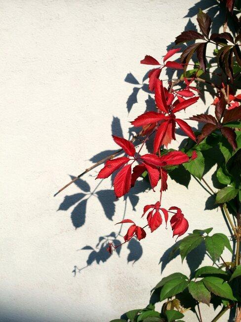 wilde wingerd met rode bladeren klimt tegen een lichte muur