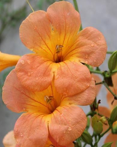close up oranje trompetbloem