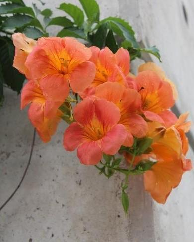 oranje trompetbloem op grijze muur