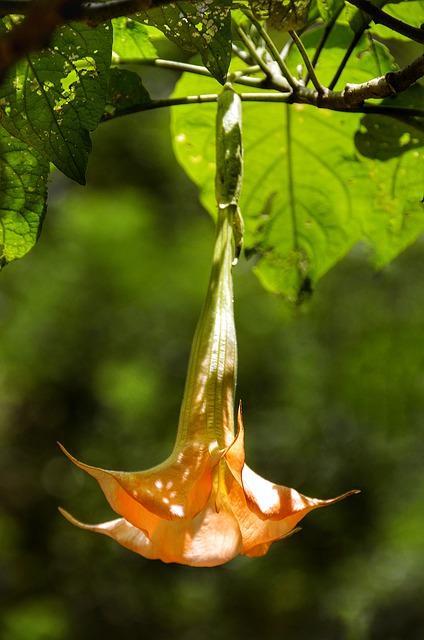 hangende trompetbloem