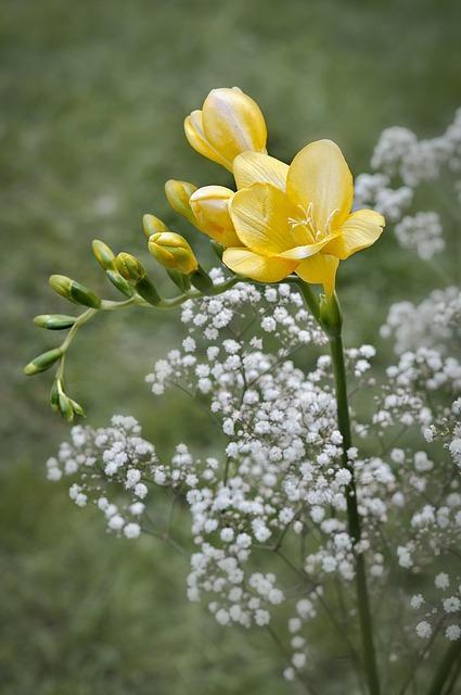 bloeiend gipskruid met andere gele bloem