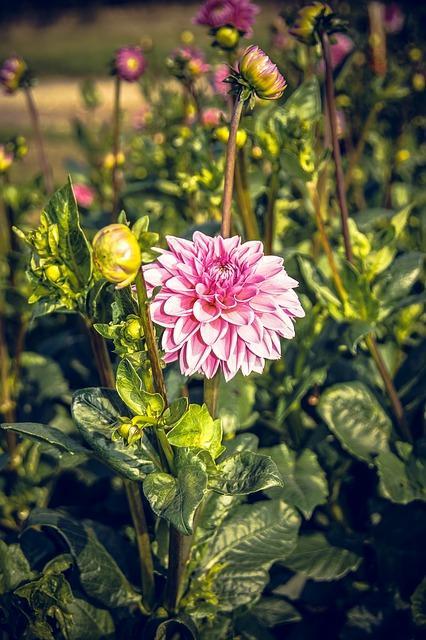 roze dahlia in tuin