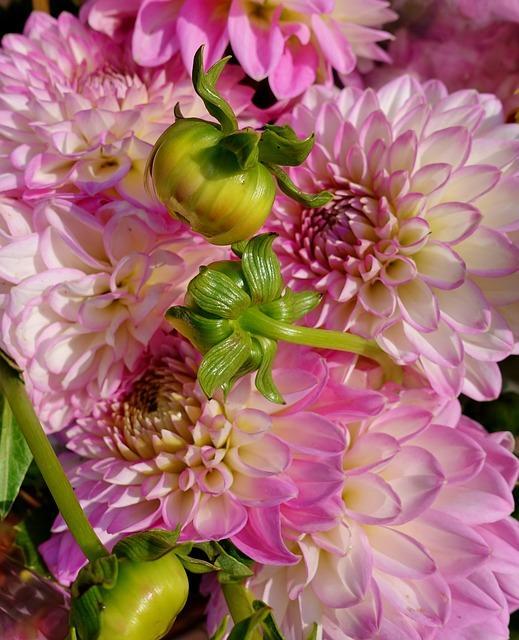 dahlia in bloei